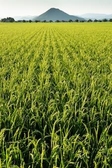 Campo extenso de crescimento verde na zona rural do japão.
