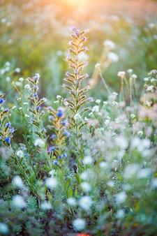 Campo florescendo nos últimos raios do sol