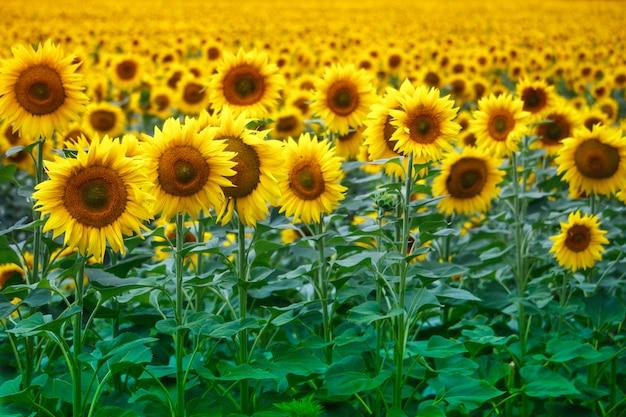 Campo infinito com girassóis de florescência amarelos brilhantes, foco suave