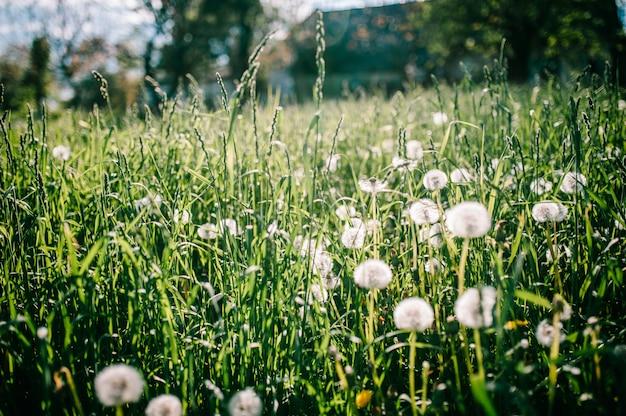 Campo-leão. o dente-de-leão branco bonito floresce na grama verde, na luz solar suave.
