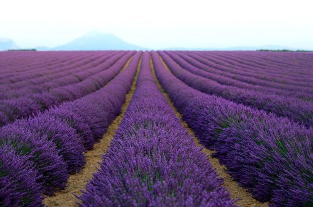 Campo lilás da alfazema, paisagem do verão perto de valensole em provence, frança.