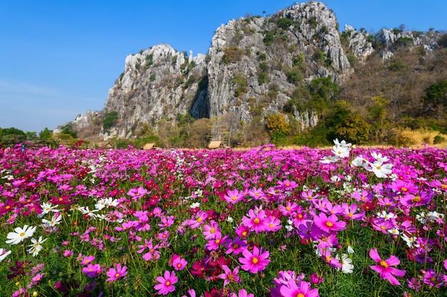Campo lindo cosmos rosa com montanhas de pedra calcária