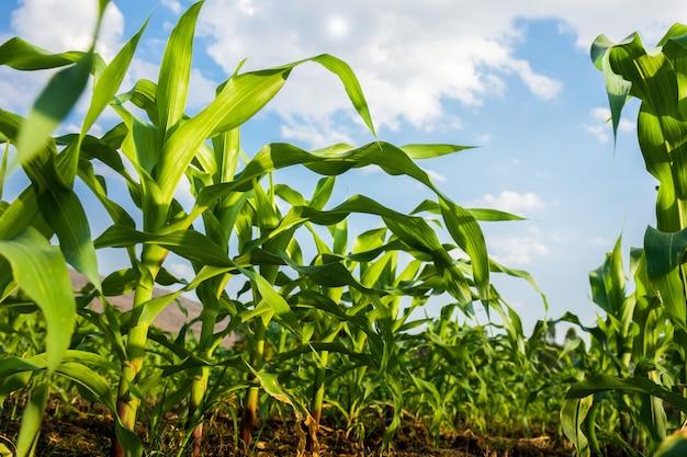 Campo milho, e, céu azul, fundo