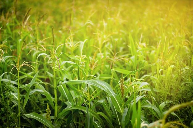 Campo milho, em, luz solar