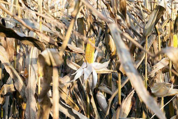 Campo muito seco com milho e espigas amarelas maduras antes da colheita dos grãos, final do outono