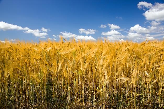 Campo, no qual crescem grãos durante a colheita da empresa