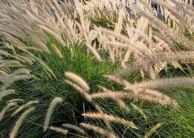 Campo poaceae ou gramineae no jardim