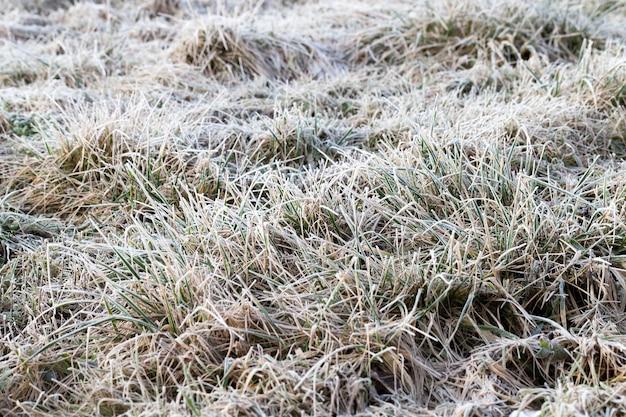 Campo selvagem com grama crescendo, seca e congelada durante o inverno, coberta de neve e geada