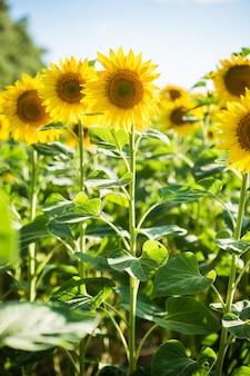 Campo sem fim com girassóis - dia ensolarado de verão