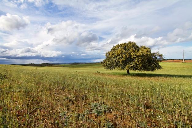 Campo trigo, com, árvore solitária