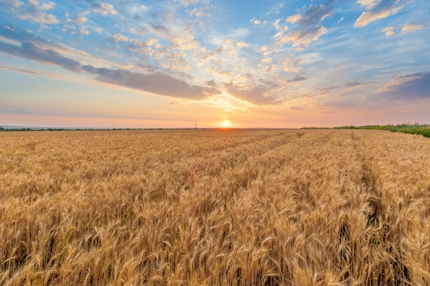 Campo trigo, em, pôr do sol, em, verão