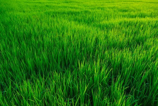 Campo verde bonito do arroz na exploração agrícola do rarul.