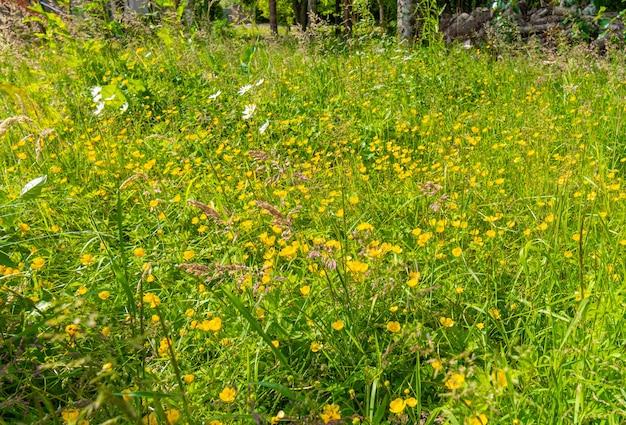 Campo verde com flores de fundo de botões de ouro tiro. fundo de sommer.