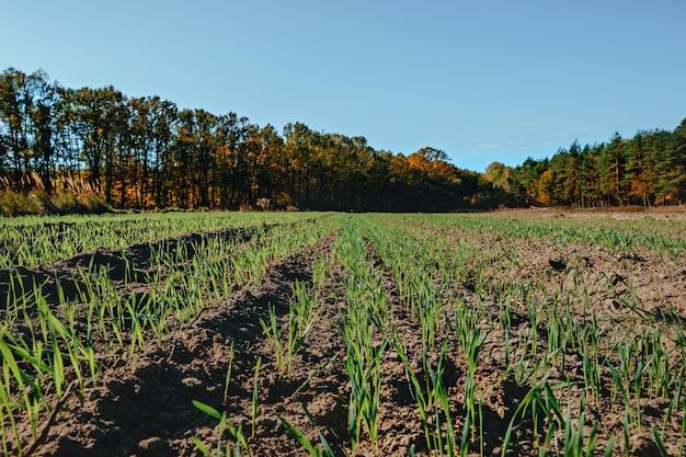 Campo verde com milho jovem