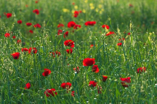 Campo verde com papoilas vermelhas