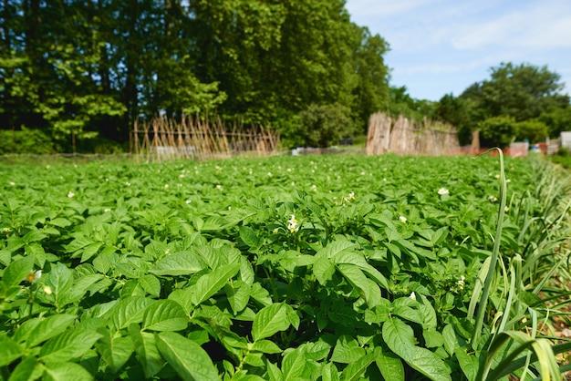 Campo verde de culturas de batata em uma fileira.