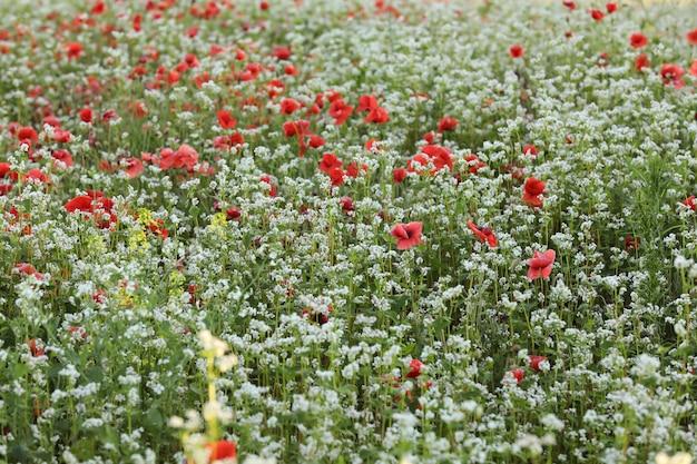 Campo verde de flores de papoula