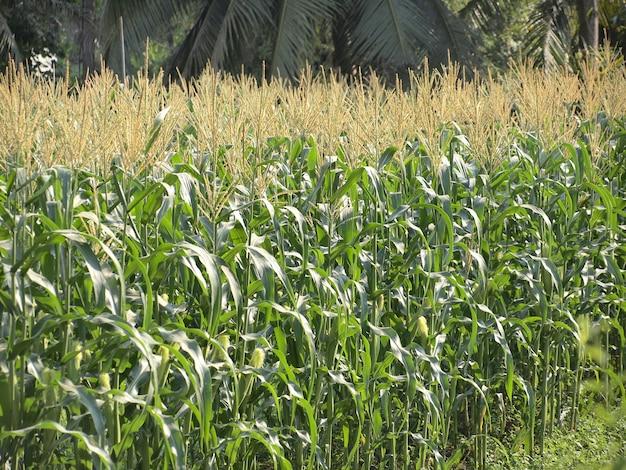 Campo verde de milho crescendo na tailândia