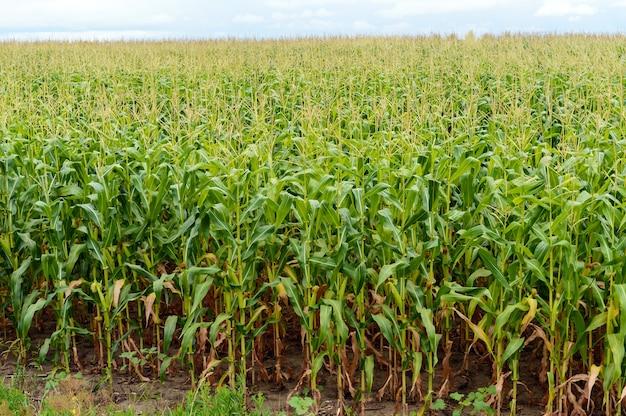 Campo verde espesso e infinito de milho alto.