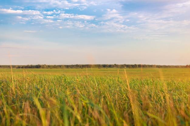 Campo verde fresco e céu azul na primavera