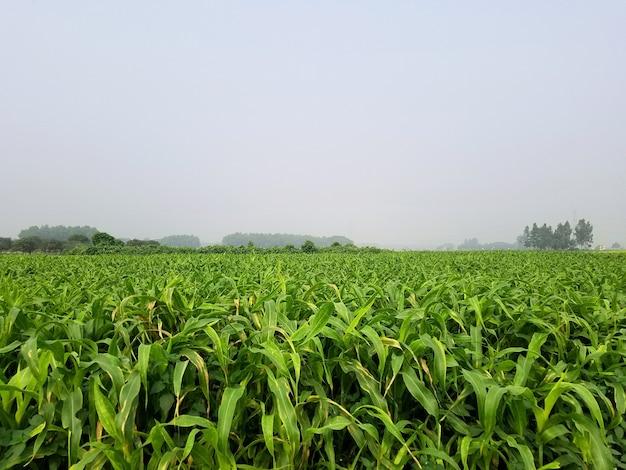 Campo verde terreno