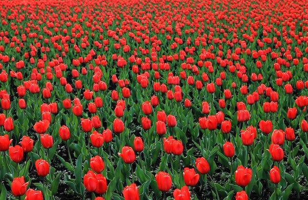 Campo vermelho da tulipa grande, flores vermelhas com folhas verdes. fundo de flores.