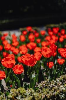 Campo vibrante de tulipas vermelhas