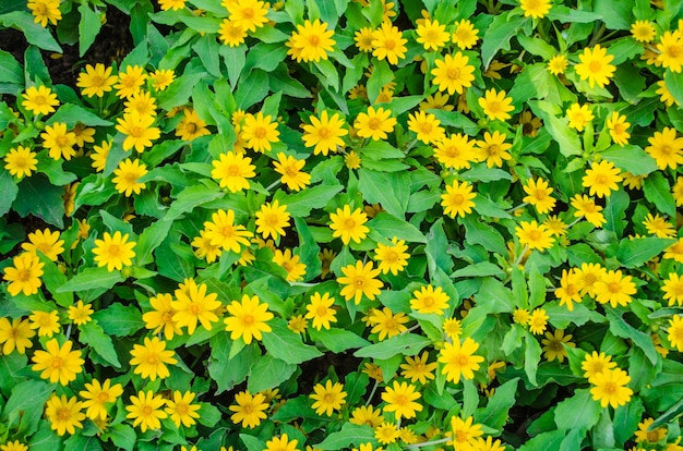 Campo zínia amarela