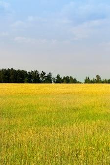 Campos agrícolas com cereais contra um céu azul, uma floresta cresce no horizonte