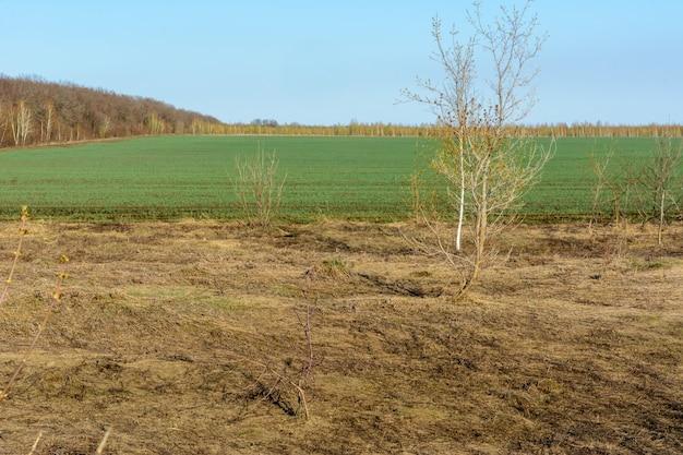 Campos com grama seca amarela e verde fresca. a transição contrastante destaca a grama verde fresca. floresta, campos, prados, árvores. paisagem de primavera.