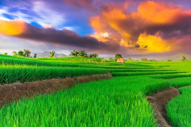 Campos de arroz com céu bonito no norte de bengkulu