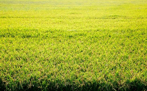 Campos de arroz de cereais com pontas maduras