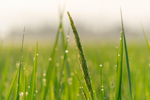 Campos de arroz de manhã com bokeh de gota de água.