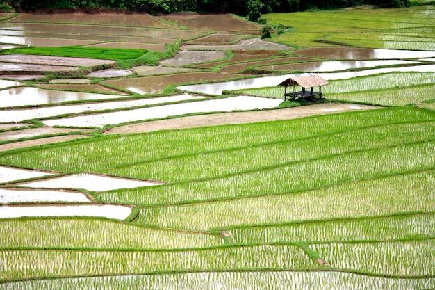 Campos de arroz do país