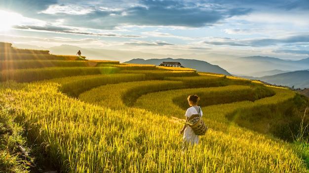 Campos de arroz dourado na zona rural de chiang mai, tailândia