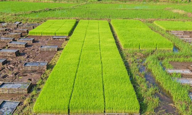 Campos de arroz e mudas recém-plantadas