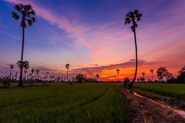 Campos de arroz e palmeiras ao pôr do sol em pathum thani, tailândia