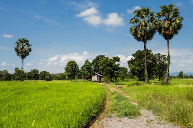 Campos de arroz em casca e cabana de fazendeiro