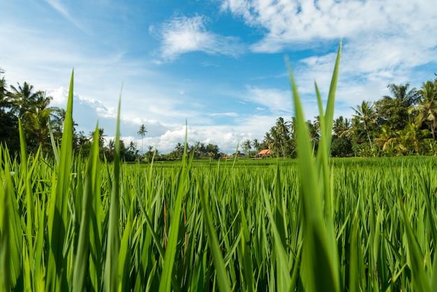Campos de arroz em ubud