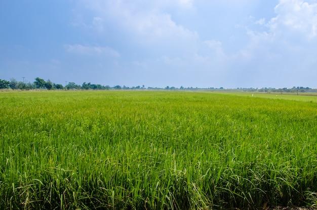 Campos de arroz exuberante