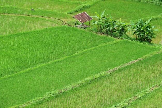 Campos de arroz exuberantes na estação chuvosa da província de nan, norte da tailândia