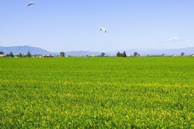 Campos de arroz no delta do ebro
