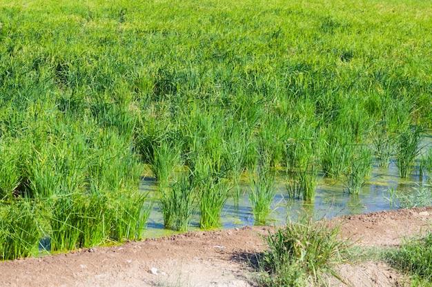 Campos de arroz no verão
