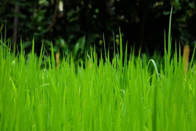 Campos de arroz ou grama verde perto da floresta com árvores mais densas.