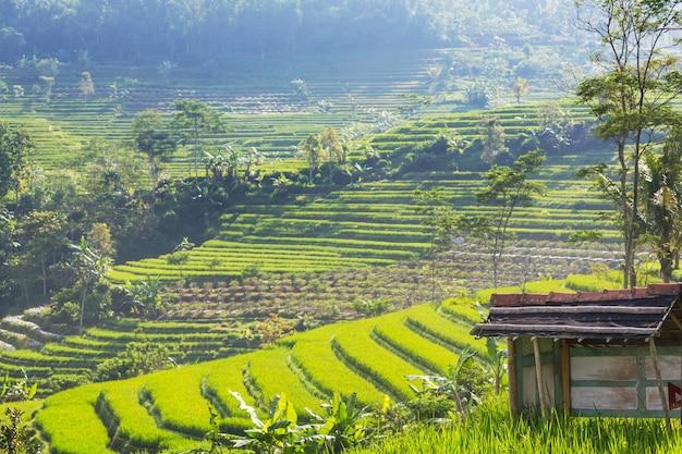 Campos de arroz verde na ilha de java, indonésia