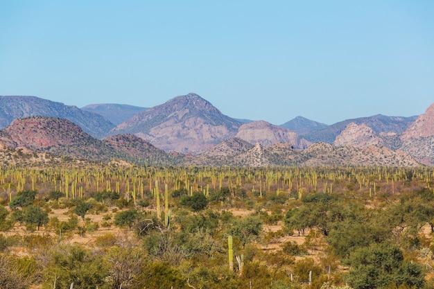 Campos de cactos no méxico, baja california