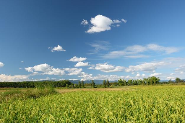 Campos de campo e arroz no dia azul índigo. nuvens brancas flutuando sobre as montanhas