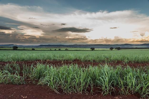 Campos de cana-de-açúcar brasileiros no pôr do sol.