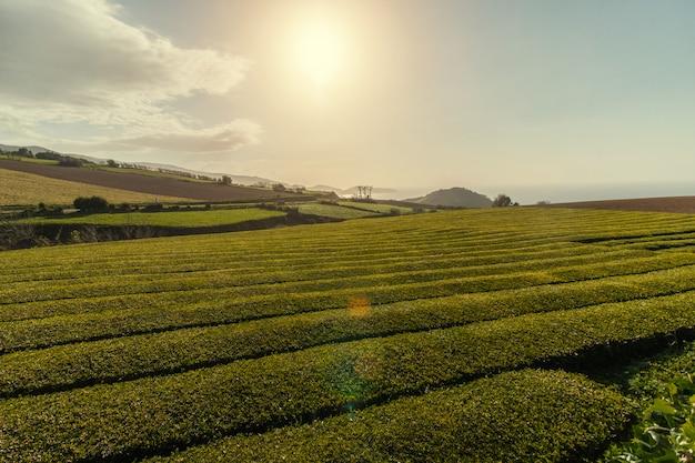 Campos de chá gorreana