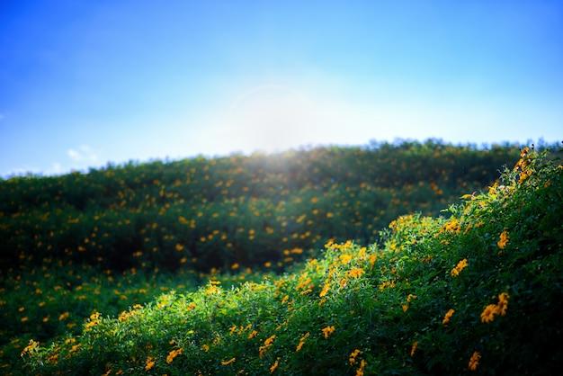 Campos de flor amarela na colina verde no céu azul e sol